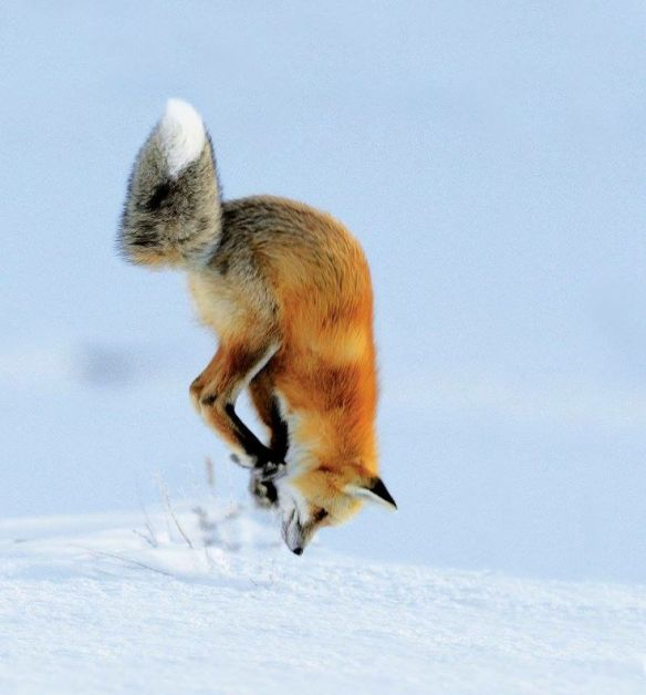 Red Fox Richard Peters
