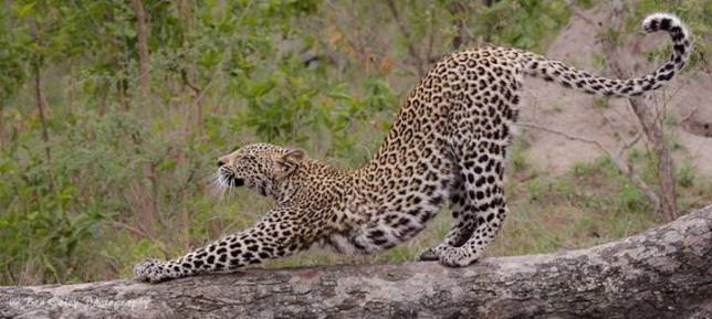Leopard by Ben Coley